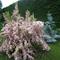 rózsalonc, ezüstfenyő, háttérben az óriás korbácsliliom