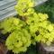 sárga levelű juhar