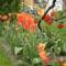 tulipán vegyes
