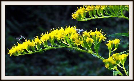 Zöldlegyek  sárga virágon