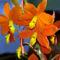 orchideák  különleges szinekkel 13