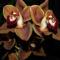 orchideák  különleges szinekkel 26