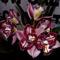 orchideák  különleges szinekkel 27