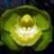 orchideák  különleges szinekkel 29