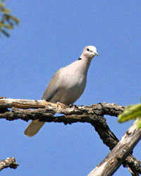 turtle-dove_edited