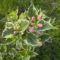 Rózsalonc tarka levelű - Weigela florida Vaiegata