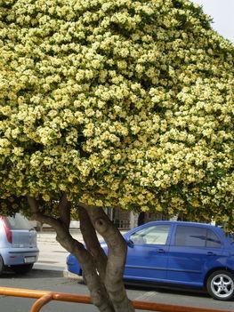 Nagyon kellemes illatú, és szép virágú fa .