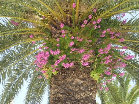 Pálmafa az élősködővel