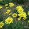 Doronicum orientale - Kaukázusi zergevirág