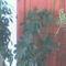 Schefflera virágzása 15