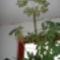 Schefflera virágzása 19