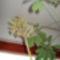 Schefflera virágzása 20