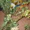 Schefflera virágzása 26
