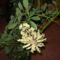 Schefflera virágzása 27