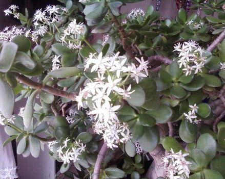 Gumifa ami éppen virágzik