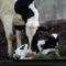Newborn Calf, Ontario, Canada, 1977