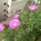 a pozsgás Dorottya virág