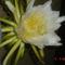 az éj királynöje.Marniera chrysocardium