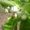 dolgozik a méhecske a virágzópomalón