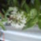edum adolphii pozsgás virág