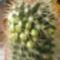 fehérvirágú Echinofossulocactus