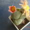 kavicskaktusz virága
