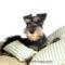 Miniature-Schnauzer-puppy-photo-83466_wallcoo