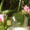 olepke orchidea másodvirágzása 1