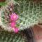 virágzó kaktusz...