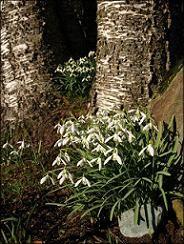 007_hóvirág, a fa mellett elbujva...