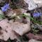 Kék csillagvirág a Sokorón 10