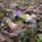 Kék csillagvirág a Sokorón 12