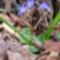Kék csillagvirág a Sokorón 15