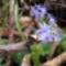 Kék csillagvirág a Sokorón 16