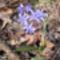 Kék csillagvirág a Sokorón 17