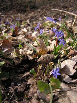 Kék csillagvirág a Sokorón 18