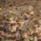 Kék csillagvirág a Sokorón 19