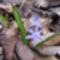 Kék csillagvirág a Sokorón 1