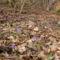 Kék csillagvirág a Sokorón 20