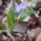 Kék csillagvirág a Sokorón 3