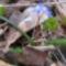 Kék csillagvirág a Sokorón 4