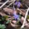 Kék csillagvirág a Sokorón 6