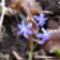 Kék csillagvirág a Sokorón 7