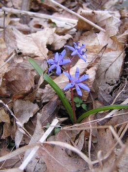 Kék csillagvirág a Sokorón 8