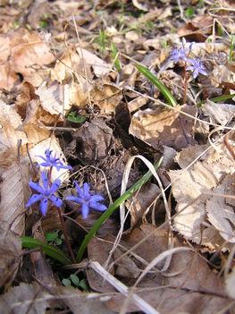 Kék csillagvirág a Sokorón 9