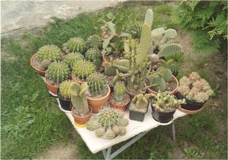 Kaktusz gyűjtemény (Honner Péter)