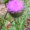 Szamárkóró virágja