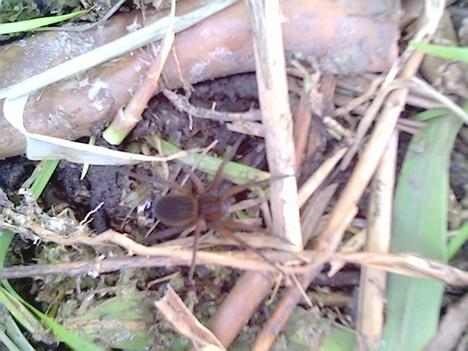 Szegélyes vidrapók (nőstény)