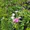 Virágok Pitvaroson magánháznál_1