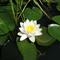Virágok Pitvaroson magánháznál_2